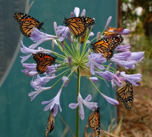 nine monarchs on agapantha